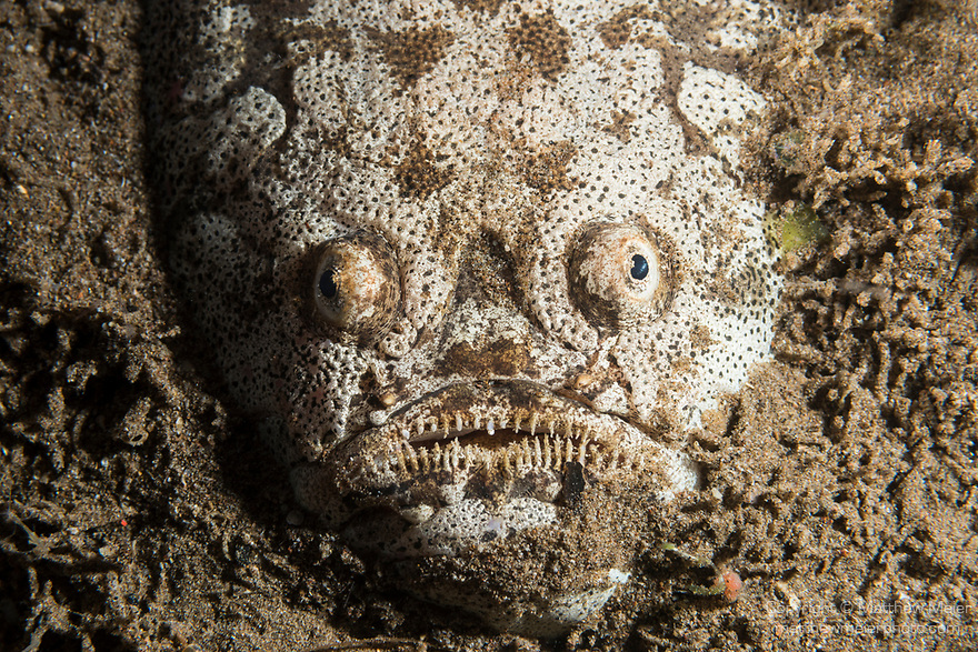 Dumaguete, Dauin, Negros Oriental, Philippines; a reticulate stargazer buried in the sandy bottom waiting to ambush prey that swims by too closely