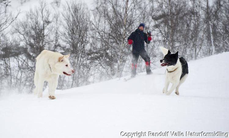 Grønlandshunder leker. ---- Greenland dogs playing.