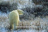 01874-07610 Polar Bear (Ursus maritimus) walking through Willows  Churchill  MB