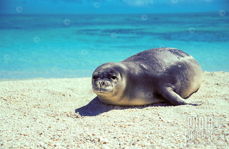 The endangered Hawaiian monk seal, latin name: monachus schauinslandi off Kura atoll, North West Hawaiian island chain