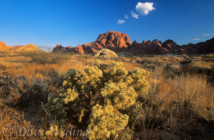 788520017 jumping cholla dried grasses and sagebrush representative of a high desert drought resistant plant community grow below sandstone outcrop in the valley of fire state park in southern nevada