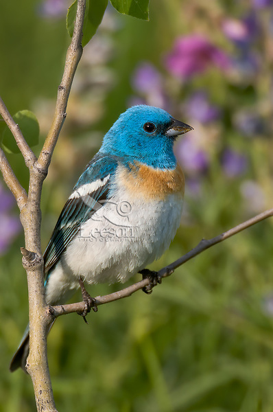 Male Lazuli Bunting (Passerina amoena) perched in young aspen tree--wildflowers lupine and sticky geranium in background.  Western U.S., summer.