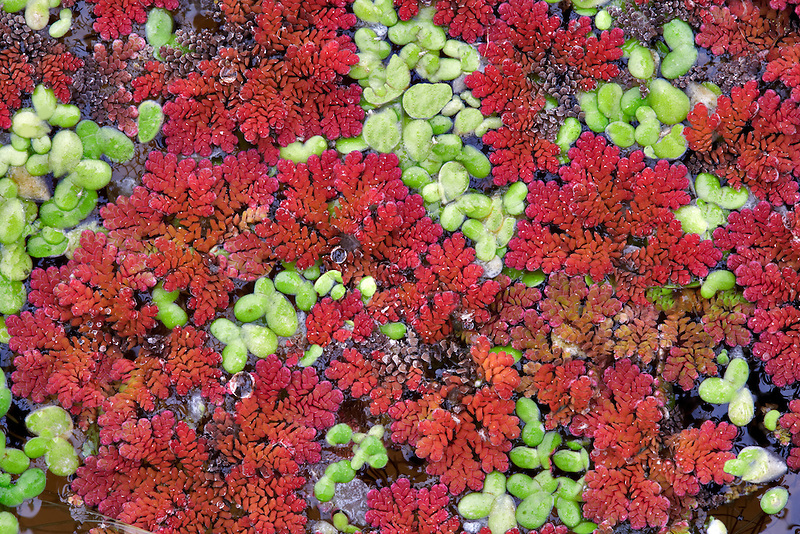 Green duckweek and fairy moss (azolla) in water garden. Hughes Water Gardens. Oregon