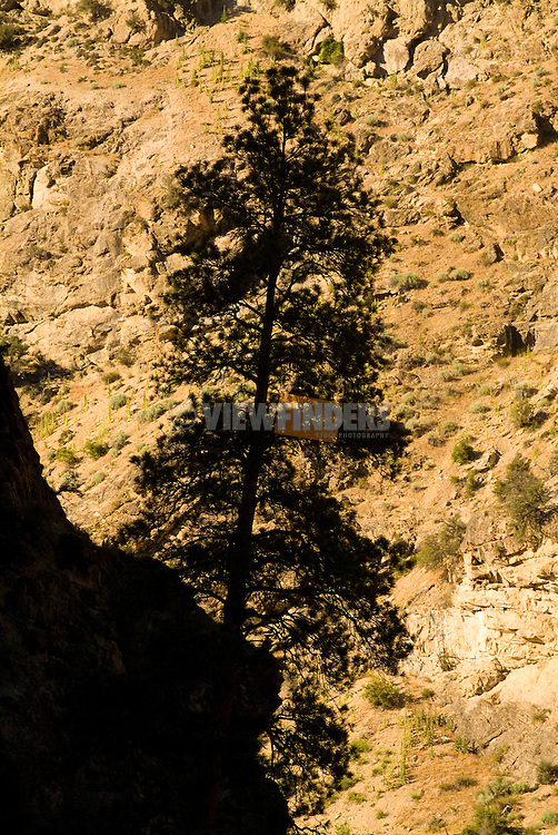 Pine Tree Silhouette against warm canyon wall