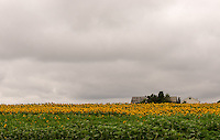 &quot;Partly Sunny&quot;<br /> Sunflower Field<br /> Riverhead, Long Island