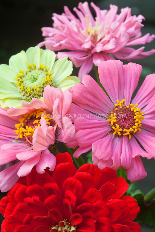 Zinnias variety of summer blooming annual flowers in mixture of colors from red, pink and green (Envy zinnia)