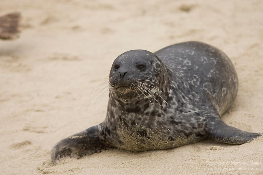 Children's Pool, La Jolla, California; Harbor Seal (Phoca vitulina)