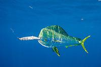 dorado, mahimahi, mahi-mahi, dolphinfish, or dolphin-fish, Coryphaena hippurus, bull (male) approaches ballyhoo bait, off Isla Mujeres, near Cancun, Yucatan Peninsula, Mexico (Caribbean Sea)