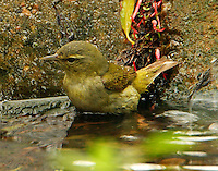 Adult female Tennessee warbler bathing in pool at Paradise Pond in April