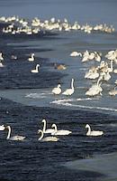 Singschwan, Trupp, Schwarm im Winter, auf Eis, Sing-Schwan, Schwan, Cygnus cygnus, whooper swan