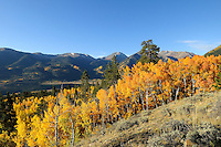 Fall Aspens above Twin Lakes, CO.