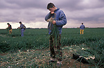 Rural low paid farm work the Fens, East Anglia. 1980s UK