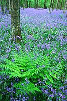 Wilde hyacint (Scilla non-scripta).