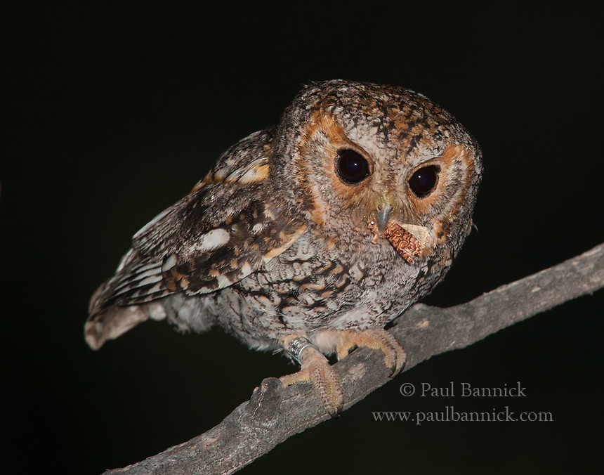 Owlet moths, like the one captured by this Flammulated Owl, are able to fly in subfreezing temperatures and are thus this owl&rsquo;s most<br /> important food item early in the breeding season.
