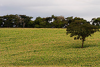 BR120_MG, Brasil...Plantacao de Milho na BR120 com floresta nativa ao fundo...The corn plantation in BR120 with forest in the background...Foto: BRUNO MAGALHAES / NITRO
