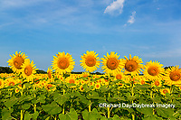 63801-07516 Sunflower field Sam Parr State Park Jasper County, IL