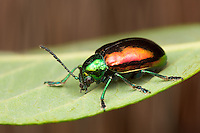 Dogbane Beetle (Chrysochus auratus), Bald Eagle State Park, Howard, Centre County, Pennsylvania