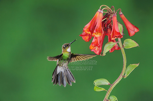 Tourmaline Sunangel (Heliangelus exortis), female feeding from Bomarea flower,Papallacta, Ecuador, Andes, South America