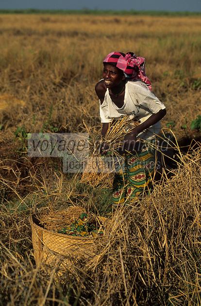 Afrique/Afrique de l'Ouest/Sénégal/Parc National de Basse-Casamance/Mlomp : Récolte du riz
