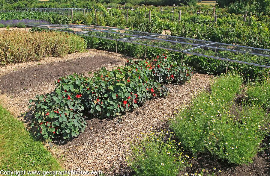 Tropaeolum nasturtium in flower growing in vegetable garden, Sissinghurst castle gardens, Kent, England, UK