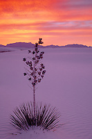 Soaptree yucca<br />
