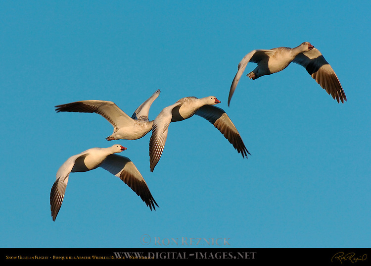Snow Geese, Morning Flight, Bosque del Apache Wildlife Refuge, New Mexico