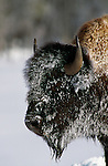 Portrait of a snow and frost covered bison in Yellowstone National Park, Wyoming.