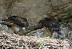 Adult Bonelli´s Eagle feeding approximately 80 day old chick in nest. Andalucia, Spain
