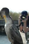 Cormorant-Photo Op, Photographer photographs a Cormorant at Anhinga Trail, Florida Everglades.