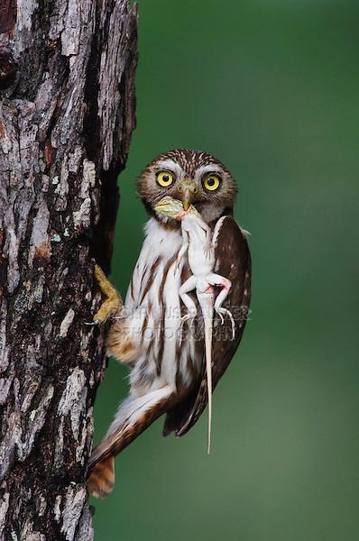 Ferruginous Pygmy-Owl, Glaucidium brasilianum, adult with lizard prey at nesting cavity, Willacy County, Rio Grande Valley, Texas, USA