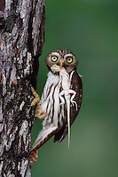 Ferruginous Pygmy-Owl, Glaucidium brasilianum, adult with lizard prey at nesting cavity, Willacy County, Rio Grande Valley, Texas, USA