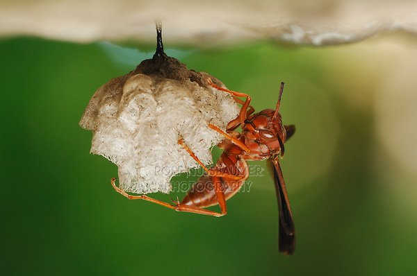 Paper Wasp (Polistes sp.), adult on nest, Fennessey Ranch, Refugio, Coastal Bend, Texas Coast, USA