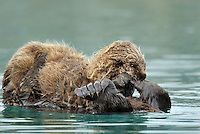 Sea Otter (Enhydra lutris) pup playing with (chewing on) mom's flipper.