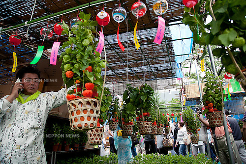 July 9, 2014. Tokyo, Japan - A vendor shows the hozuki plant at Senso-ji Temple in Asakusa on July 9, 2014. The Hozuki Ichi (Chinese Lantern Plant Fair) is held on July 9 and 10 at the Senso-ji Temple in Asakusa since Edo period. The hozuki is cultivated as an ornamental plant and for medical uses. (Photo by Rodrigo Reyes Marin/AFLO)