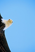 Bald eagle (Haliaeetus leucocephalus) inflight.
