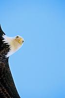 Bald eagle (Haliaeetus leucocephalus) inflight.