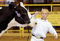 NWA Democrat-Gazette/DAVID GOTTSCHALK  Levi Weaver shows a holstein dairy cow in the Junior Showmanship division Tuesday, September 1, 2015 in the show barn on the Washington County Fair Grounds in Fayetteville. The Washington County Fair runs through September 5.