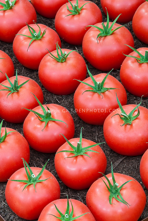 Many red tomatoes picked in rows