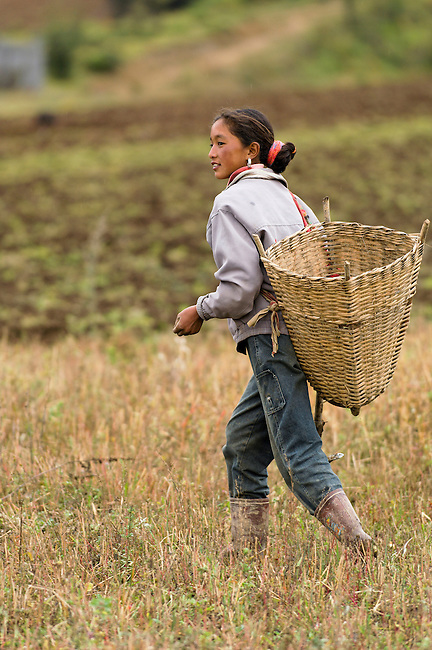 Tibetian Minority of Yunnan's Zhongdian District maintain their traditions of farming and religion. Potato farming, China