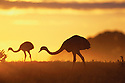 Greater Rheas Grazing at Sunrise; Pantanal, Brazil