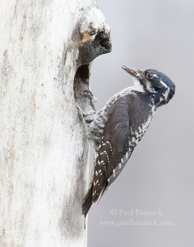 An American Three-toed Woodpecker arrives at her nest with insects for her nestlings.