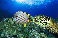 The ornate butterflyfish, Chaetodon ornatissimus, appears to be kissing this green sea turtle, Chelonia mydas, an endangered species, Hawaii.