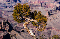 United States, Arizona, Grand Canyon. An old tree at Hermits Rest, the western end of Hermit Road at the West south rim of the Canyon.