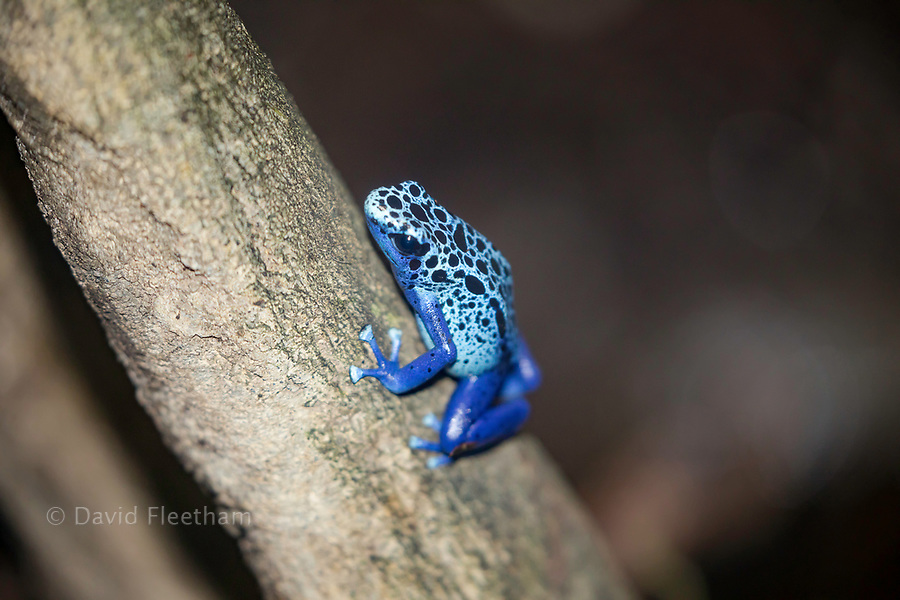 Blue Poison Dart Frog, Dendrobates tinctorius azureus native to Surinam.