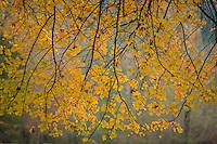 Sugar maple branches in autumn