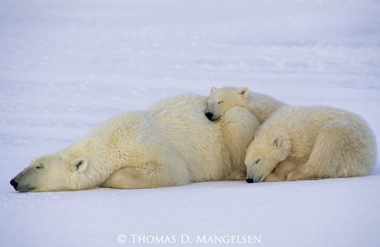 A polar bear huddled with her two cubs rests and waits for the sea ice to form in Wapusk National Park, Hudson Bay, Canada.