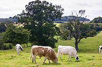 Bull with cows pastoral scene grazing in meadow in The Cotswolds, Gloucestershire, England, UK