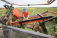 Harvesting Garlic Bulbs In Lincolnshire.