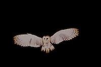 Kerkuil (Tyto alba) vliegend