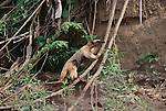 Lesser anteater or tamandua, Manu National Park, Peru